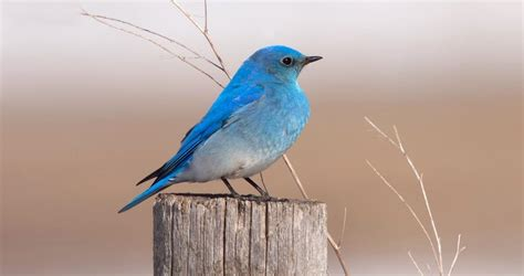 mountain bluebird identification all about birds cornell