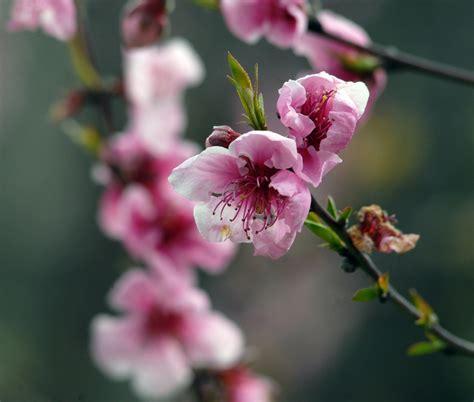 battisti fiori rosa fiori di pesco fiori rosa fiori di pesco foto immagini piante