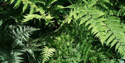 piante da ombra per giardino piante acidofile ideali per un giardino in ombra