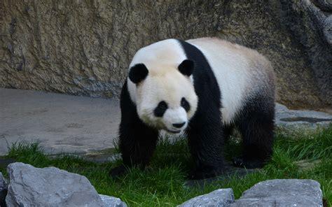 wallpaper hd panda panda hd wallpapers for desktop animals hd wallpapers