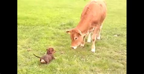 puppy can t puppy can t contain happiness after meeting cow page 2 of 2 ilovedogsandpuppies