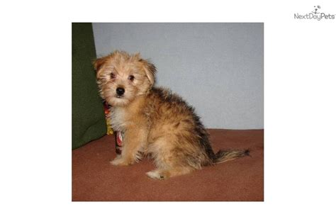 are yorkies born with tails meet s boy a yorkiepoo yorkie poo puppy for sale for 500 yorkiepoo