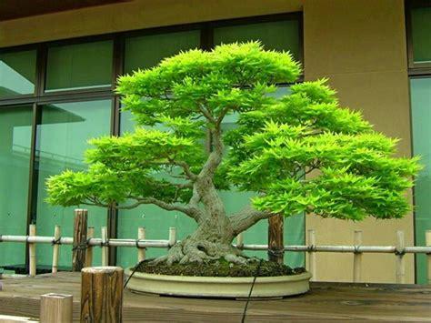 libro bonsai with japanese maples 25 beautiful japanese maple bonsai ideas on
