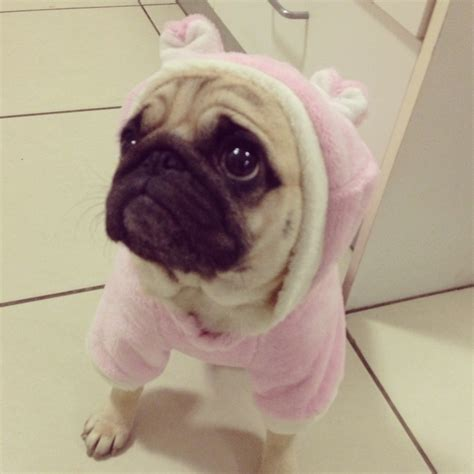 pugs in suits pug in pig suit piggies and pugs