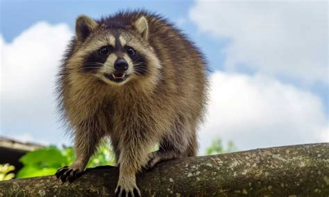 How To Get Rid Of Raccoons Feed That Game How To Get Rid Of Raccoons In Your Backyard
