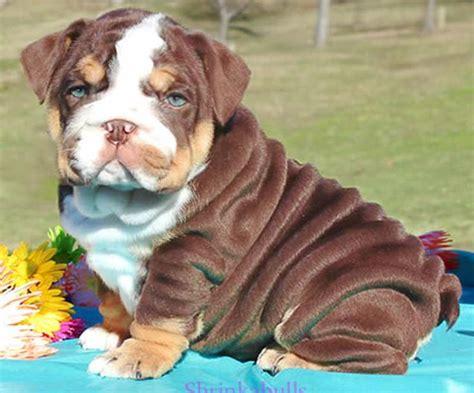 brown bulldog puppies chocolate bulldog puppy lake bg pet lakes pit bull and