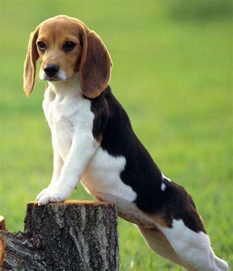cani piccola taglia pelo corto da appartamento ricerche correlate a cani da compagnia di piccola taglia a