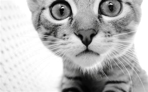 cat wallpaper pinterest cat cats wallpaper 32040775 fanpop
