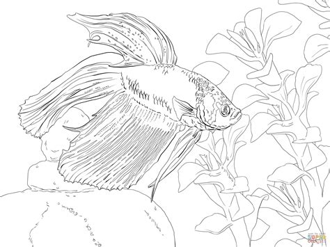 coloring pages betta fish siamese fighting fish coloring page free printable