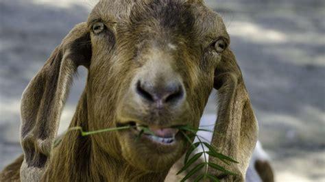 geiten in tuin indiase geit gearresteerd voor grazen op het gazon van