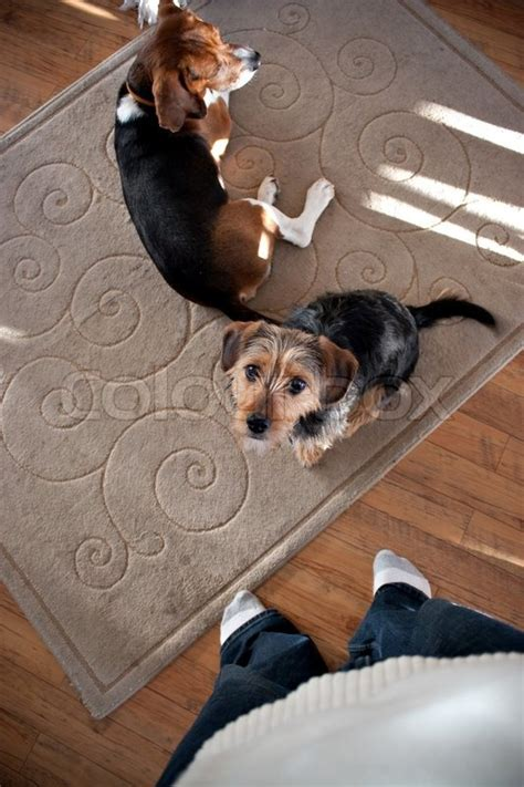 yorkie beagle portrait of a terrier beagle mix shallow depth of breeds picture