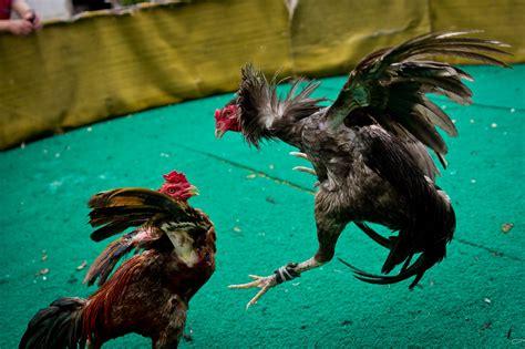 berapa harga ayam petarung  judi sabung ayam