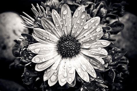Picture Black And White 30 black and white pictures of flowers with tips on how to