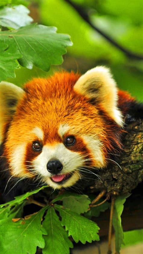 cute red panda wallpaper wallpapersafari