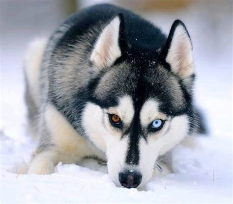 white wolf 20 striking photos of huskies with different
