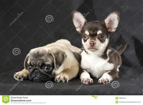 chihuahua and pug chihuahua and pug stock photo image 39890726