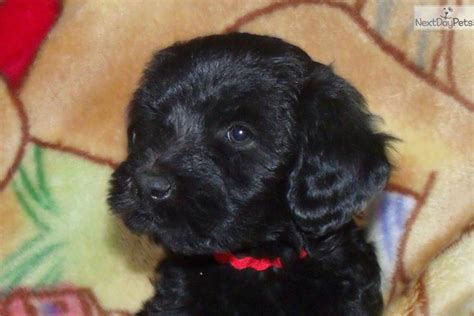 whoodle puppies for sale near me they don t come much cuter than this whoodle puppy for sale near los angeles