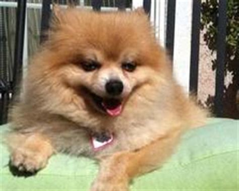 pomeranian rescue northern california pomeranian rescue of northern california east bay bay south bay