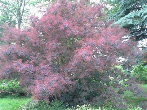 how to grow smokebushes gardening smokebushes growing smokebushes