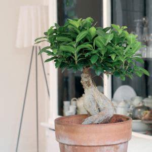Arrosage Ficus Ginseng by Ficus Arrosage Rempotage Gamm Vert