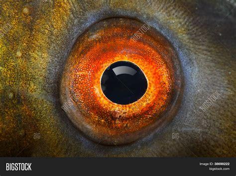 fish eye fish eye tench tinca tinca image photo bigstock