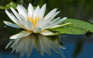 Lotus Name 45 Pretty Flowers In The World With The Names And Pictures