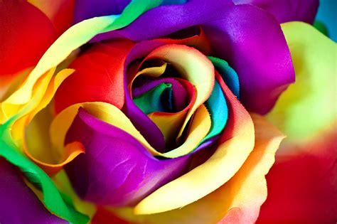 imagenes de rosas multicolores fonds d ecran rosiers en gros plan macro multicolor fleurs