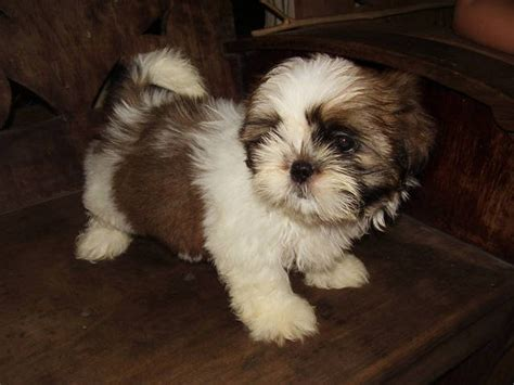 shih tzu for sale in philippines shih tzu puppies for sale in the philippines motorcycle review and galleries