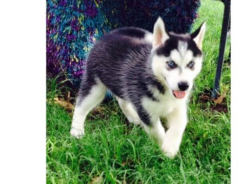 free puppies denver and siberian husky puppies for free adoption denver offer denver pets dogs