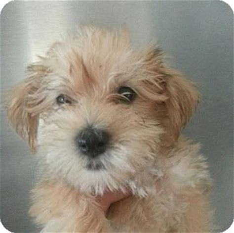 yorkie rescue wi reba adopted puppy 13 silver lake wi maltese yorkie terrier mix