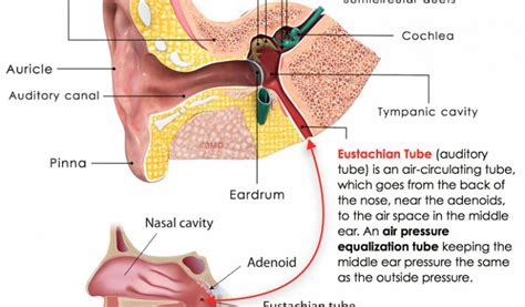 Eustachian Tube And Throat Anatomy