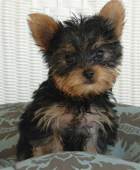 yorkie puppy stages puppypictures