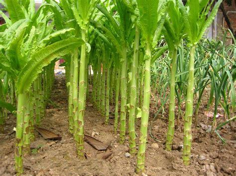Jual Bibit Asparagus jual green asparagus hijau tanaman sayur herbal benih