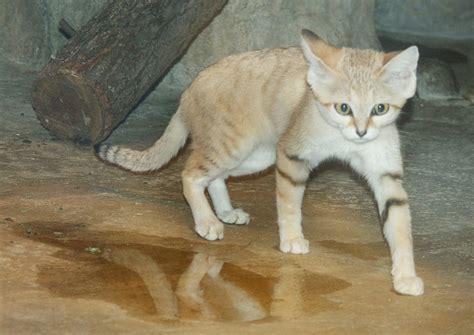 Serok Pasir Kucing Warna Warni 19 jenis kucing hutan sifat warna makanan ciri fisik dan gambarnya