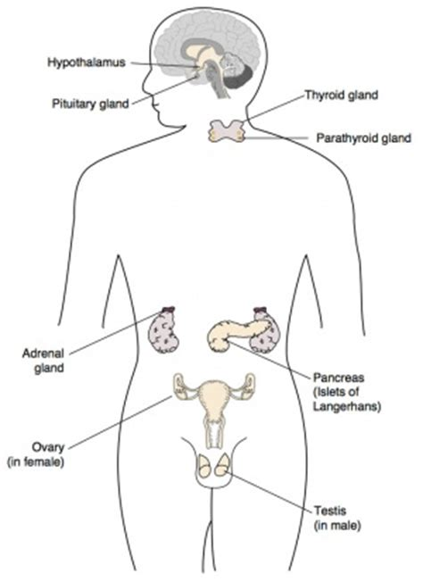 diagram of the endocrine system bgd lecture endocrine development embryology