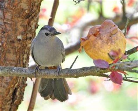 fruit for the catbirds the zen birdfeeder