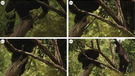 how to hunt with a spear chimps in senegal found to fashion for