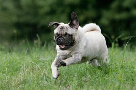 running pug chet the happy birthday prince charles