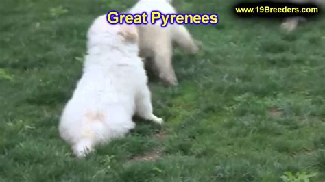 puppies for sale in idaho falls great pyrenees puppies for sale in boise city idaho id rexburg post falls