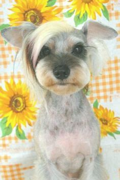 asian style schaunzer hair trim male yorkie cute hair cut gus yorkie pinterest