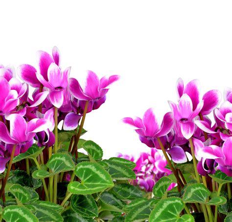 ciclamino in vaso ciclamino come curare e coltivare i ciclamini in vaso e