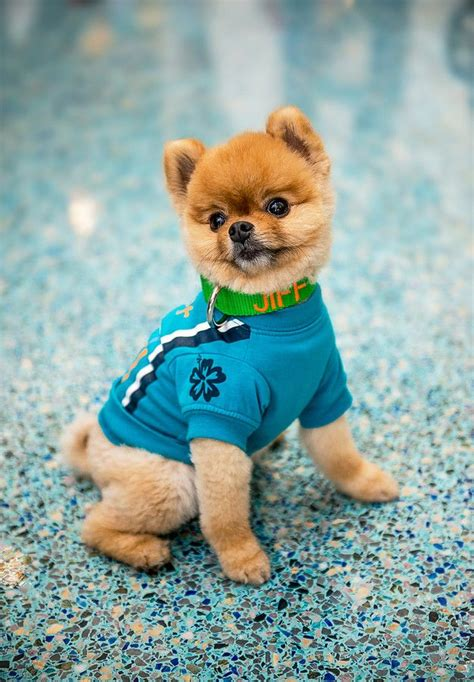 pomeranian jiffpom 8 best images about jiffpom on time magazine and blush