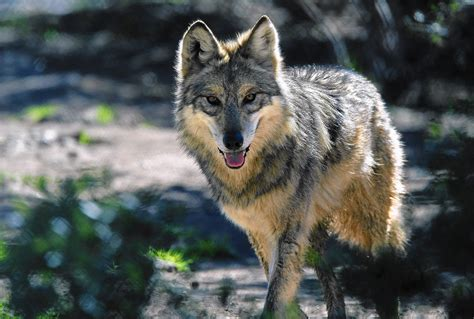 the the wolf dna indicates ago southland wolf was actually a