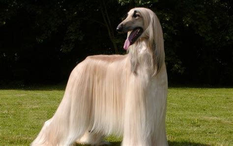 large haired dogs photos of large breed haired dogs large breeds hair in