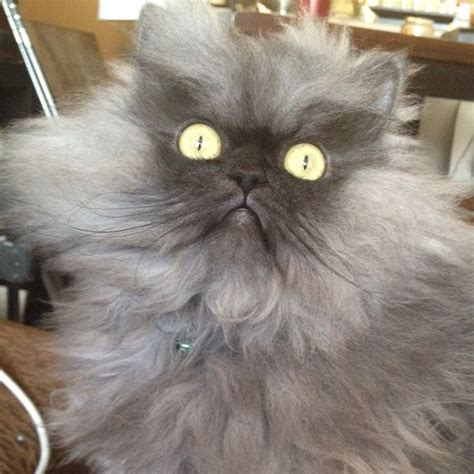 Colonel Meow, A Fluffy Grey Cat Who Looks Really Angry