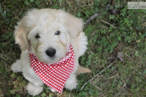 doodle puppies for sale ky goldendoodle puppy for sale near eastern kentucky
