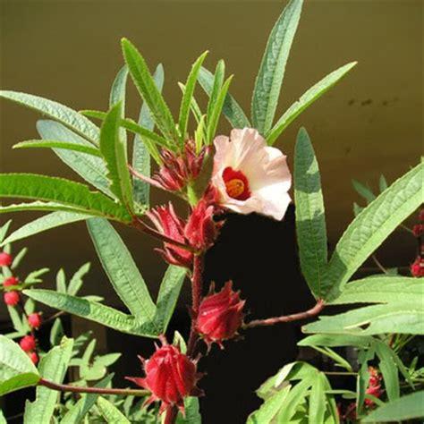 Teh Bunga Rosella 250 Gram obat herbal dan tradisional bunga rosella teh rosela manfaat dan budidayanya