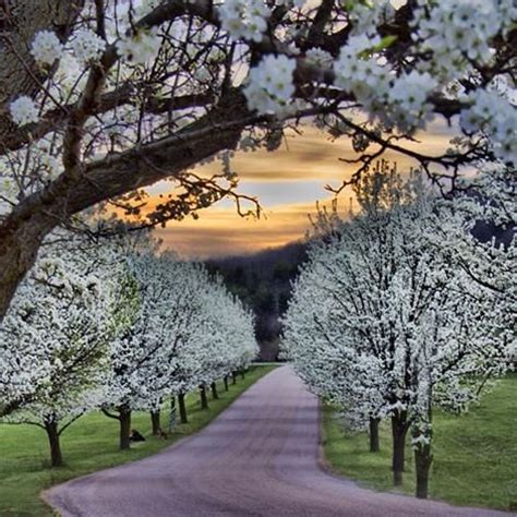 654 cherry tree road trees home and pear trees on
