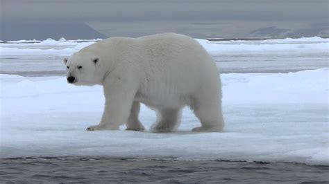 oso polar oso polar oso polar youtube