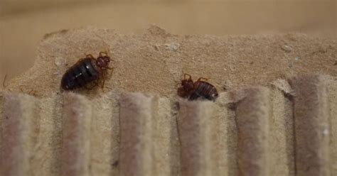 do bed bugs suck blood council set to charge 163 100 to get these pests removed from